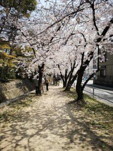 苦楽園口から徒歩10分の桜道